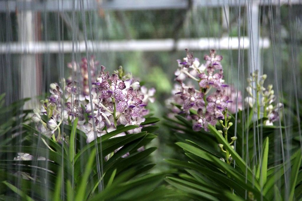Exportation d'orchidées fraîches thaïlandaises